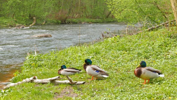 Thumbnail for Three Drake Resting On The River Bank