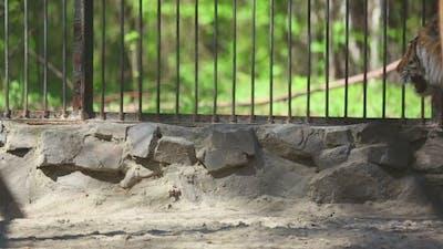 Amur Tiger At The Zoo