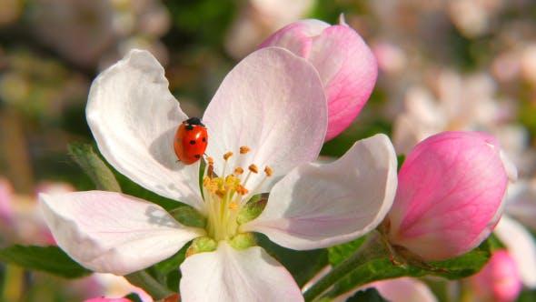 Thumbnail for Ladybird On The Apple Flower