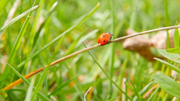 Thumbnail for Ladybird Takes Off From Grass