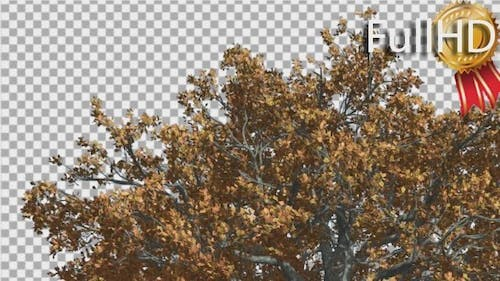 White Oak Top of a Crown Tree is Swaying at The