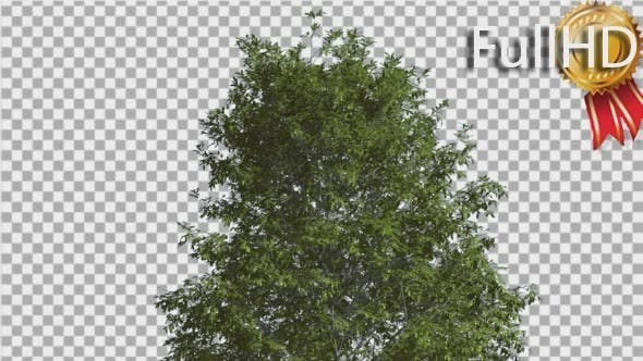 Thumbnail for Shingle Oak Top of the Tree is Swaying at The