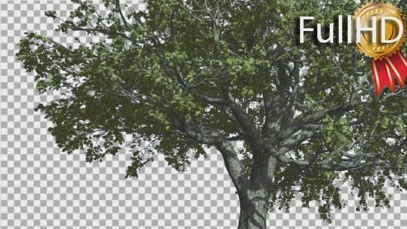 Thumbnail for White Oak Trunk And Lower Branches