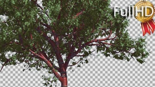 Tibetan Cherry Red Tunk Small Tree is Swaying