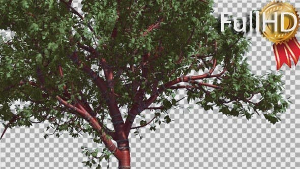 Thumbnail for Tibetan Cherry Red Tunk Small Tree is Swaying