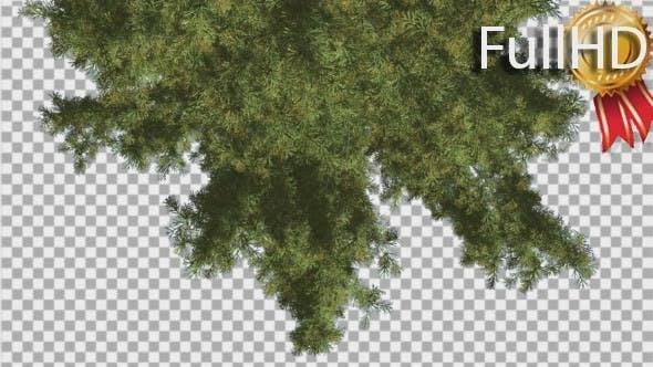Alaska Cedar Turned Image Tree is Swaying
