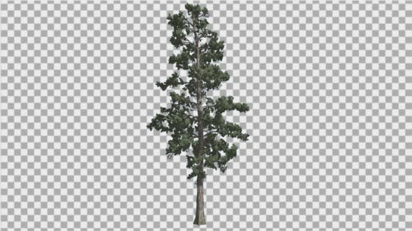 Thumbnail for Eastern White Pine With Thin Tree in Summer Tree