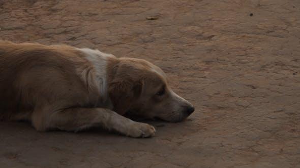 Thumbnail for Dog Sleepy On Ground