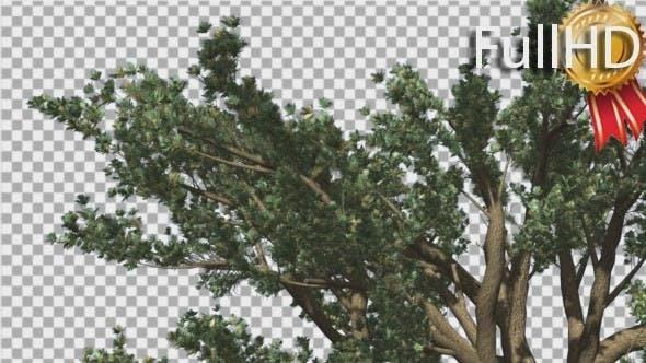 Cedar of Lebanon Top of Tree is Swaying
