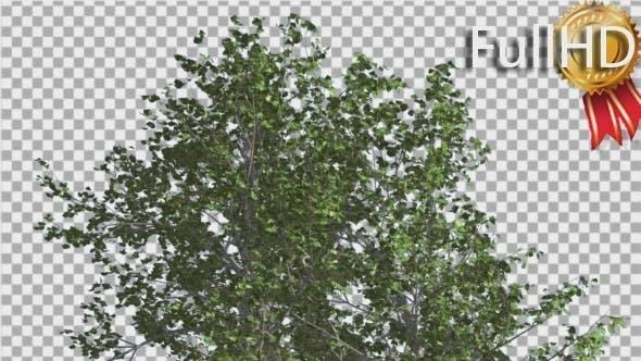 Thumbnail for Fluss Birke Spitze des kleinen Baumes schwankt