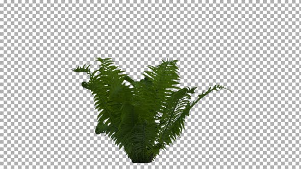Thumbnail for Real Fern Isolated on the Wind 1