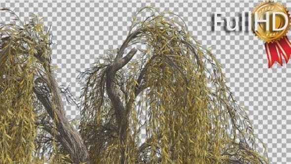 Thumbnail for Weeping Willow Top of Tree Hanging Tree Branches