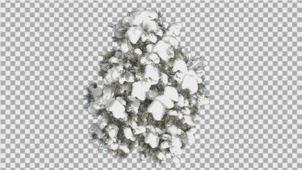 Thumbnail for Cedar Top Down Eastern Red Cedar Snow on Tree