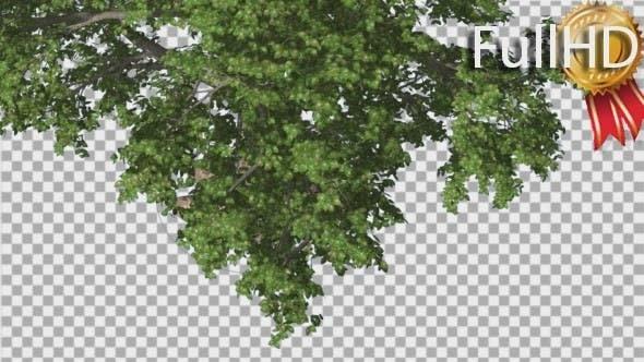 Broadleaf Top of The Tree Turned