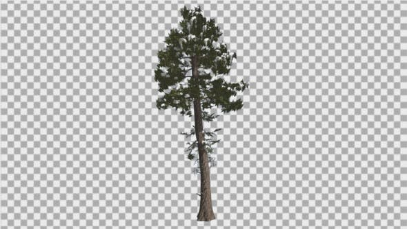 Cover Image for Douglas Fir Snow on a Branches Thin Tree Winter