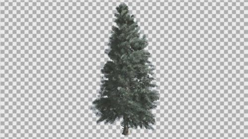 Blue Spruce Thin Tree is Swaying at The Wind Blue