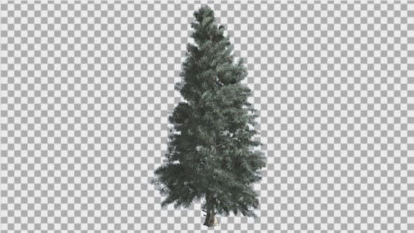 Thumbnail for Blue Spruce Thin Tree is Swaying at The Wind Blue