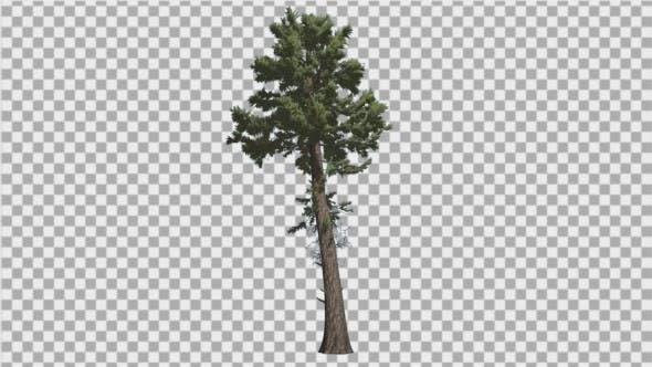 Douglas Fir Tall Thin Tree Winter or Summer Tree
