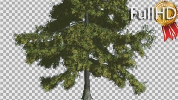 Thumbnail for Alaska Cedar Thin Tree is Swaying at The Wind