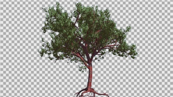Thumbnail for Tibetan Cherry Small Red Trunk Tree is Swaying
