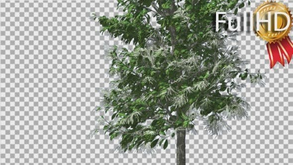 Thumbnail for Sourwood Thin Tree is Swaying at The Wind Green