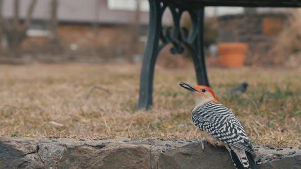 Thumbnail for Red Headed Woodpecker Bird