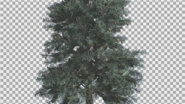 Thumbnail for Blue Spruce Thin Tree in Winter or Summer Middle