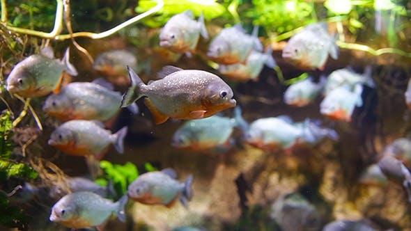 Thumbnail for Piranha Colossoma Macropomum