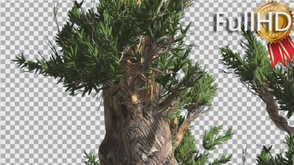 Cover Image for Bristlecone Pine Thick Tree is Swaying at The