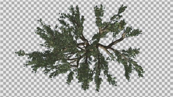 Cedar of Lebanon Tree Crown Top Down Tree Swaying