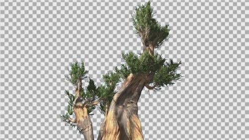 Bristlecone Pine Thick Tree Two Trunks Green