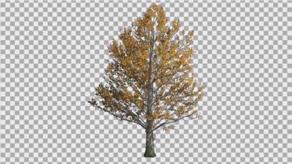 Thumbnail for Sugar Maple Tree is Swaying at The Wind Yellow