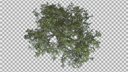 White Oak Top Down Tree is Swaying at The Wind