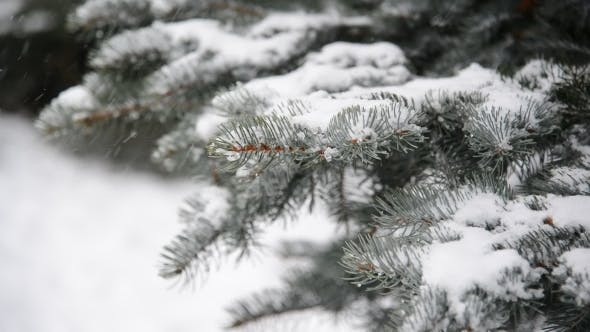 Branches of Spruce in  Snow at  Park During a Snowstorm