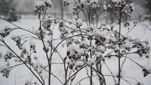 Thumbnail for Weeds Covered  Snow During a Blizzard