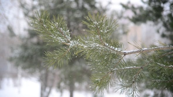 Thumbnail for Branches Of Pine in Snow At Park During a Snowstorm