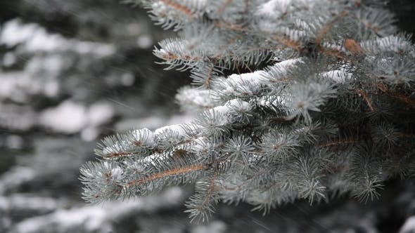Thumbnail for Branches of Spruce in  Snow At  Park During a Snowstorm