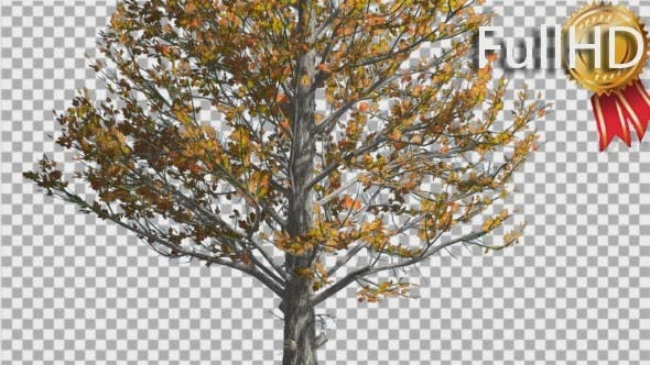 Thumbnail for Sugar Maple Trunk Tree is Swaying at The Wind