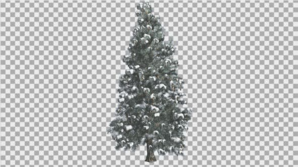 Thumbnail for Blue Spruce Snow on a Branches Tree Distantly