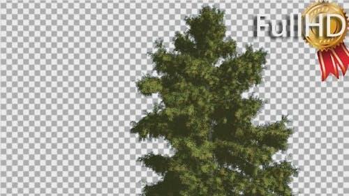 Alaska Cedar Tree is Swaying at The Wind