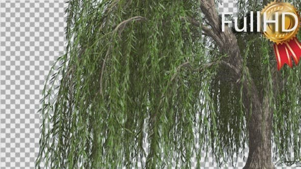 Weeping Willow Hanging Tree Branches Are Swaying