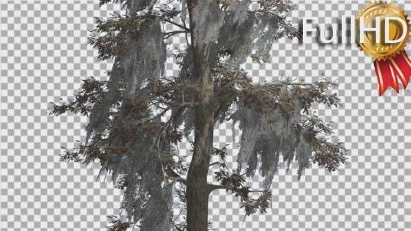 Bald Cypress Tree is Swaying at The Wind Yellow