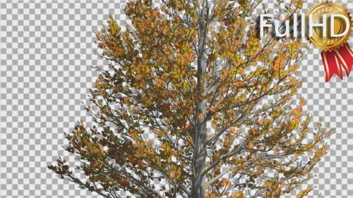 Sugar Maple Thin Tree is Swaying at The Wind