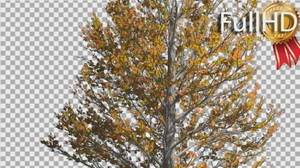Thumbnail for Sugar Maple Thin Tree is Swaying at The Wind