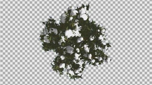 Fir Top Down Douglas Fir Snow on Tree Branches