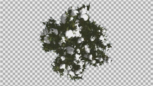 Cover Image for Fir Top Down Douglas Fir Snow on Tree Branches