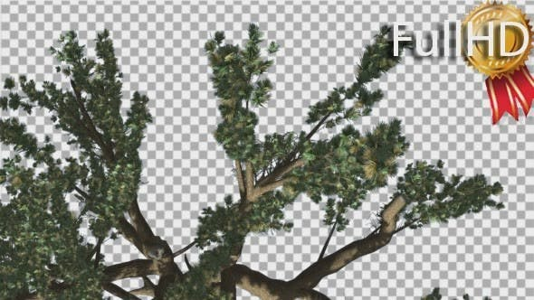 Thumbnail for Cedar of Lebanon Tree is Swaying at The Wind