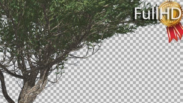 Thumbnail for Umbrella Thorn Thin Tree Branches Are Swaying