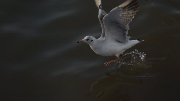 Thumbnail for Seagull Bird Flying Low Above Water Surface