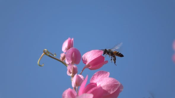 Thumbnail for Bee Collect Nectar From The Flowers